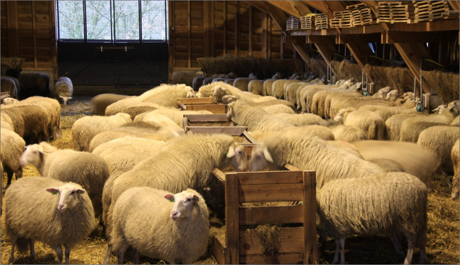 Een kudde schapen
